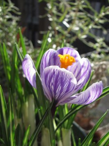 Forced crocus in bloom